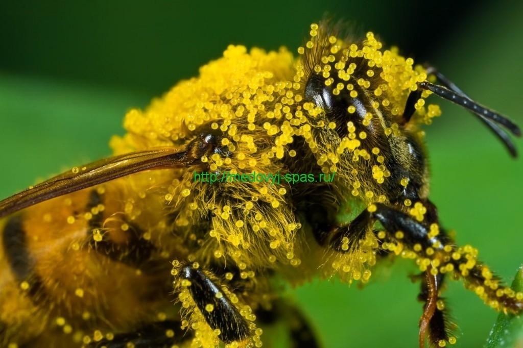 Какова роль пыльцы в меде?