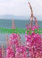 Кипрей