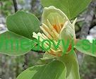 Тюльпан тополь