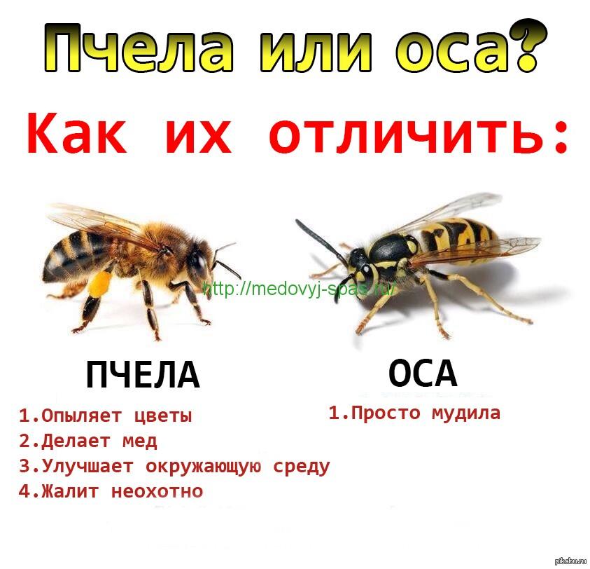 Юмор. Пчела или оса?