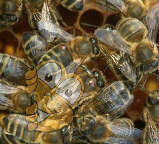 Клещи Varroa (каштановые) на спине пчел.