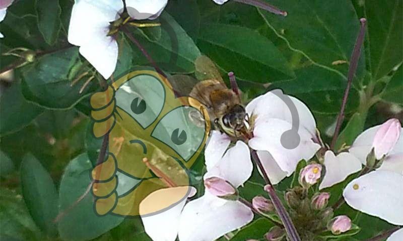 Мед пчелы фуражир собирает нектар из цветка Cleome. Пчелы делают мед из нектара. Кроме того, они собирают пыльцу, которую они превращают в пергу.