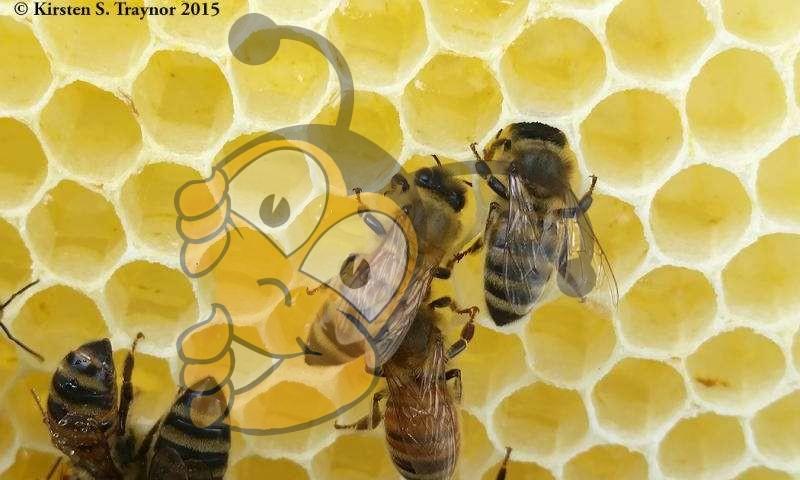 Медоносные пчелы, хранящие нектар в сотах. Когда он полностью созрел в мед, пчелы закрывают шестигранные клетки воском.