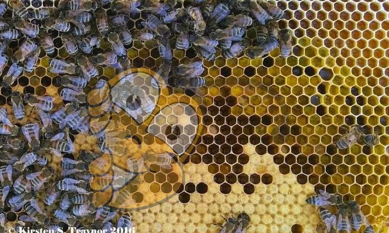 """Медоносные пчелы обычно хранят входящие пыльцы в арке над выводок гнезда медоносных пчел питомника. Медсестра пчелы потребляют пыльцы, хранящуюся под названием """"пчелиный хлеб"""" и преобразовать белки в расплода пищу."""