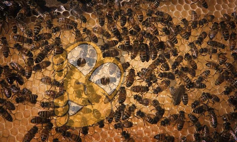 Вопросы питания: Стресс от кочевого пчеловодства может быть ослаблен путем доступа к продуктам питания