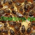 Медоносные пчелы и опыление